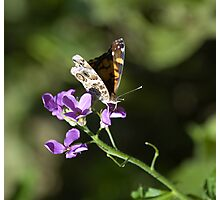 Butterfly and Phlox Nectar Photographic Print