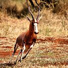 THE BLESBUCK - Damaliscus dorcas phillipsi by Magriet Meintjes