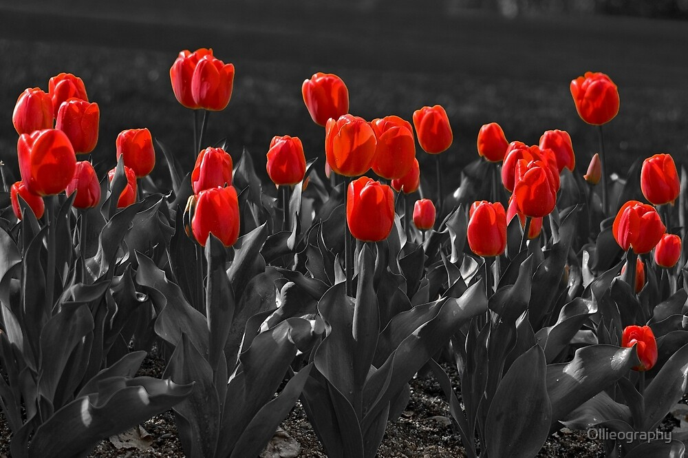 Tulips#7 by Ollieography