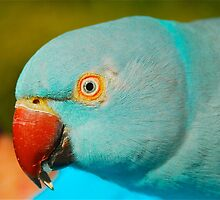 Blue Ringneck by Penny Smith