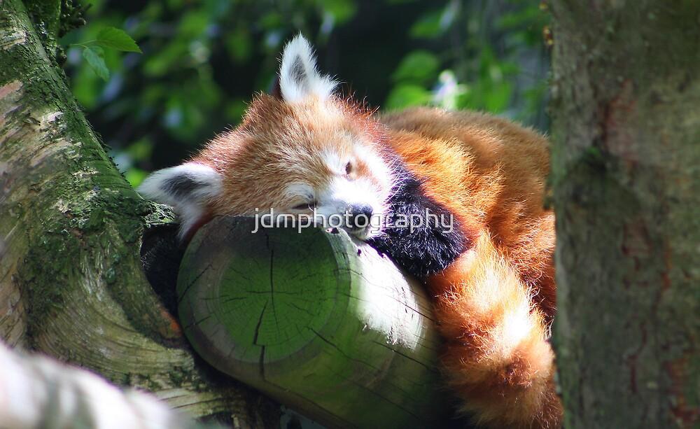 Red Panda by jdmphotography