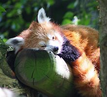 Red Panda by jdmphotography