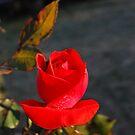 red rose by frankierose