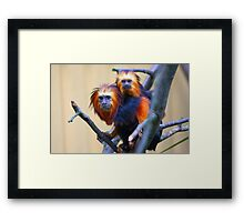 Golden-headed lion tamarin Framed Print