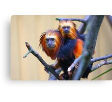 Golden-headed lion tamarin Canvas Print
