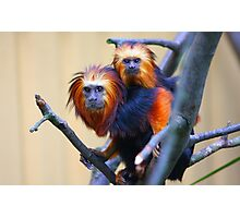 Golden-headed lion tamarin Photographic Print