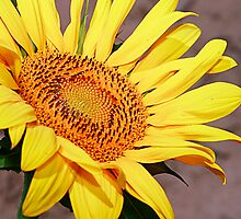 Sunflower Series by Wendy Mogul