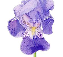 Purple Iris by Mariana Musa