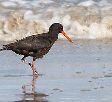 Sooty Oystercatcher ~ The Beachcomber by Robert Elliott
