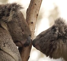 Koala Love by Kerry Duffy