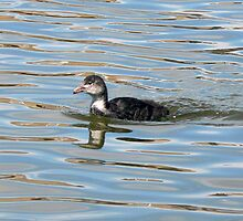 A Coot Chick by AARDVARK