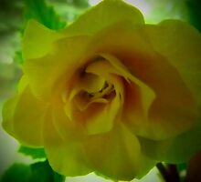 Yellow Begonia vignette. by MaeBelle