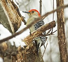 Red-Bellied Woodpecker - Melanerpes carolinus  by MotherNature