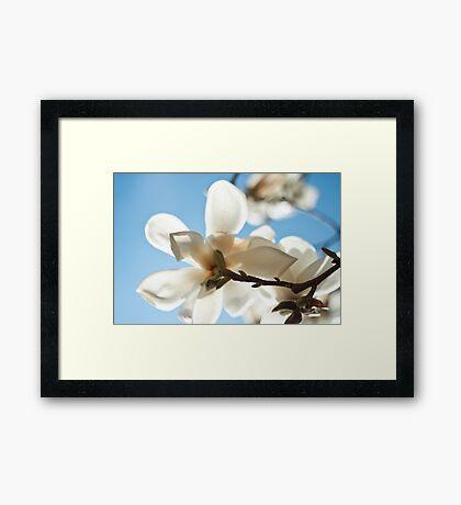 Magnolia Close up pale blue Framed Print