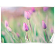 Pink Spring Tulips Poster