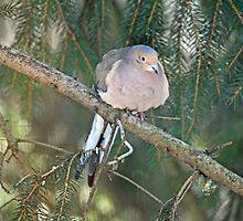 Mourning Dove - Zenaida macroura by MotherNature