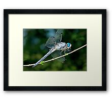 Great Blue Skimmer Dragonfly Framed Print
