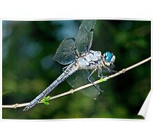 Great Blue Skimmer Dragonfly Poster