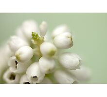 Muscari ~ White Grape  - JUSTART ©  Photographic Print