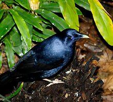 Satin Bower Bird by Aussiebluey