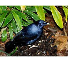 Satin Bower Bird Photographic Print