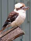 Kookaburra on Feeder by Kristina K