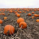 Pumpkin Patch... but where's the great pumpkin? by Barberelli