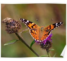 Painted Lady Butterfly : Venessa Cardui Cardui Poster