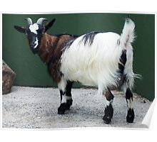 MEAN LOOKING GOAT Poster