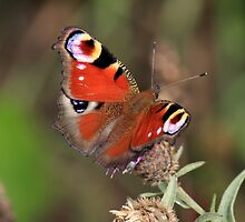 Peacock Butterfly, Manfield  Scar, North East England by Ian Alex Blease