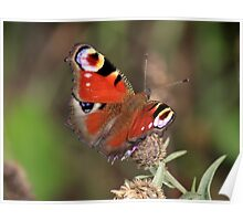 Peacock Butterfly, Manfield  Scar, North East England Poster