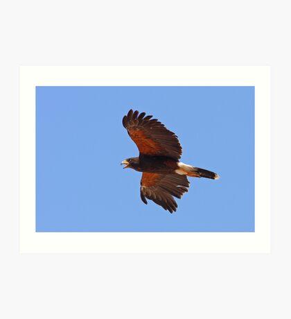 Harris Hawk In Flight Art Print