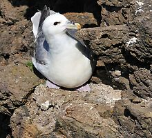 Fulmar at Esha Ness by Richard Ion