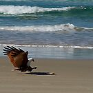 Sea Eagle by gamaree L