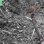 COLOUR POPPED ROBIN RED BREAST by alexandriaiona