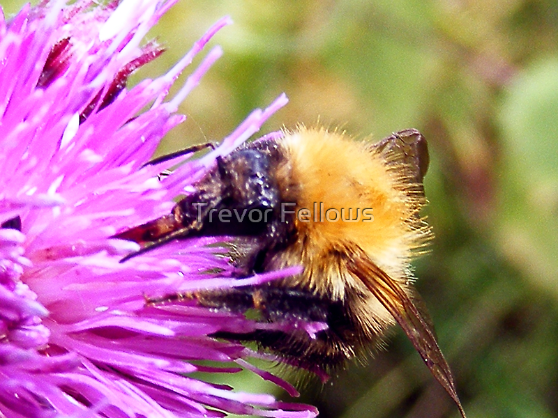 The Bumble Bee and the Thistle by Trevor Fellows