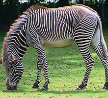 The Zebra..... by jdmphotography