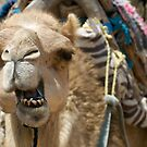Dramatic Dromedary by Amy Dokken