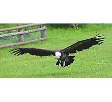 The White-backed Vulture.......... Photographic Print