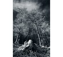 Larches of Dull Wood Photographic Print