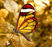 Glasswing Heart by LarsvandeGoor