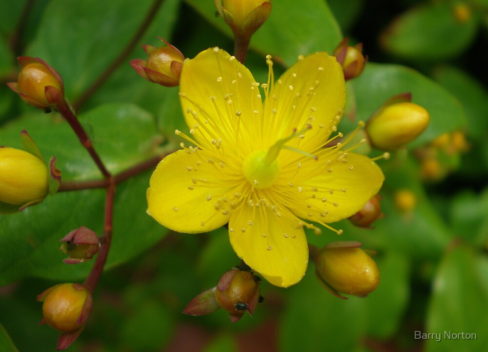 Hypericum by Barry Norton