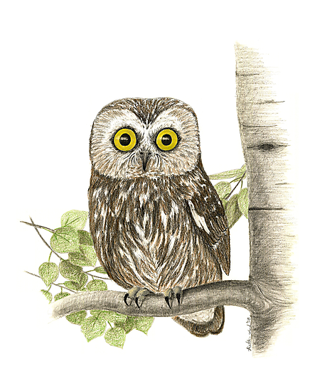 Saw Whet Owl by Heather Ward
