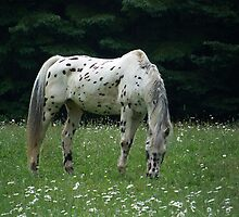Leopard Apaloosa by peggywright