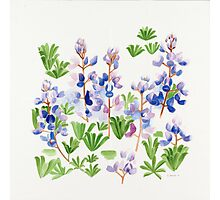 April Lupin  Photographic Print
