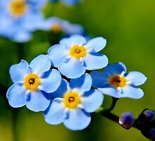 Blue Forget-me-nots II by Kathleen Daley
