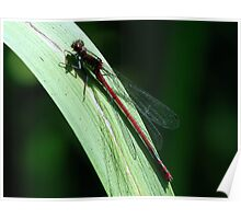 Red Damsel Poster