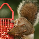 squirrel 3 by Roger  Barnes