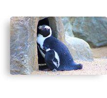 Black-footed Penguin  Metal Print