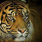 Sumatran Tiger by Chris Kean